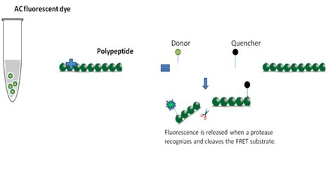protein vs polypeptide home biolabelin fluorescence dye antibody peptide