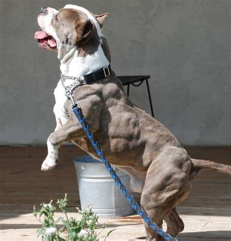 pitbulls dogs pitbull a family or a fighting breed