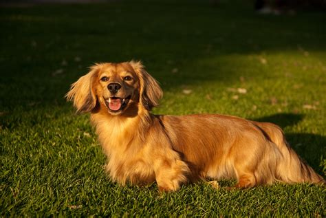 golden retriever x dachshund golden retriever dachshund mix not photo page everystockphoto