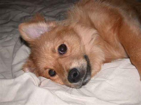 lhasa apso pomeranian mix lhasa apso pomeranian mix puppies