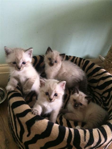 bengal x ragdoll ragdoll x bengal kittens only 2 left coalville