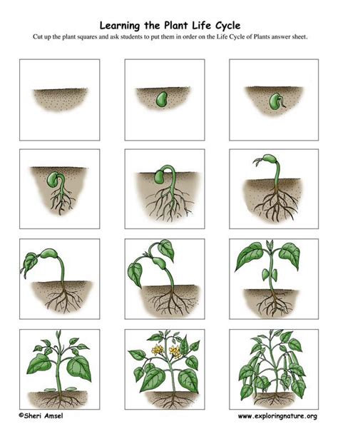Plant Cycle Worksheet by Plant Cycle Worksheets Myideasbedroom
