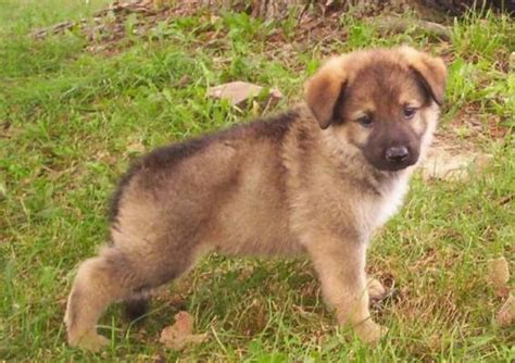 black and white german shepherd puppies dogs pets german shepherd puppies