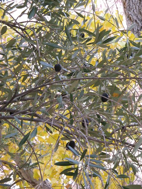 top 28 do olive trees invasive roots invasive tree autumn olive woodland forum at permies