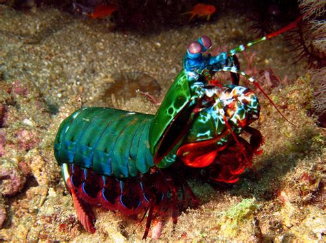 mantis shrimp colors the crayola fication of the world how we gave colors