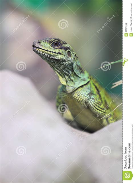 Amboina Photography amboina sailfin lizard royalty free stock photo image