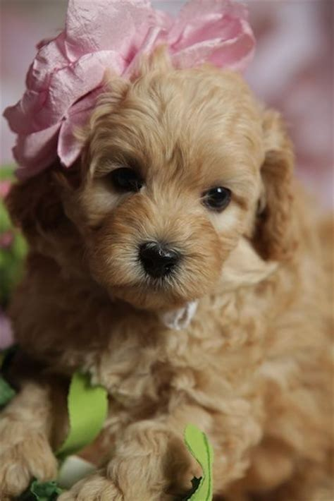 australian labradoodle puppies 25 best ideas about australian labradoodle puppies on labradoodle