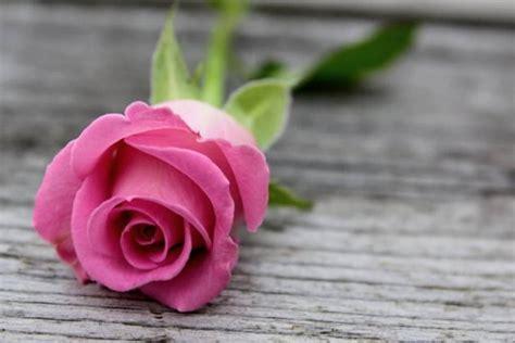 wallpaper bunga ping gambar bunga mawar pink setangkai pesona dunia