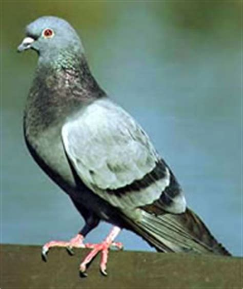 Membran V 3 R Rr why do pigeons bob their heads when they walk everyday