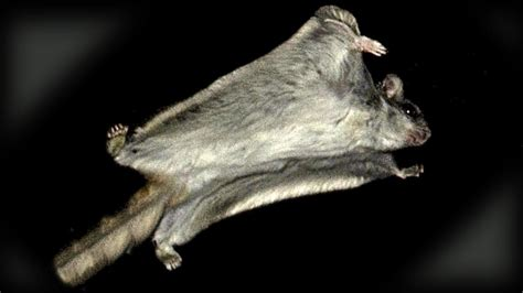 scogliattolo volante flying squirrels get frisky