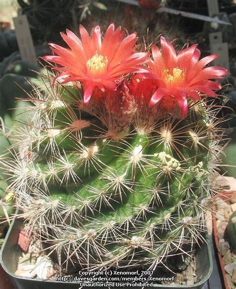 Desert Botanical Garden Gift Shop Plantfiles Pictures Parodia Parodia Comarapana By Xenomorf