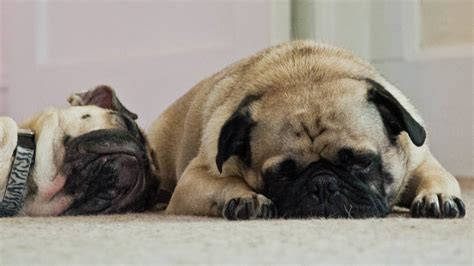 pug snore pugs snoring will make smile guaranteed pawbuzz