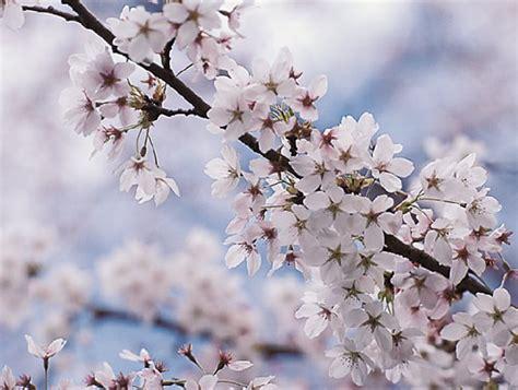 cherry tree design flowering cherry tree gardening guide
