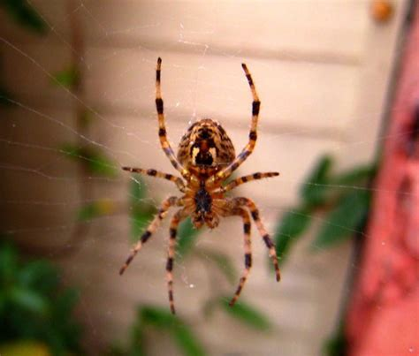 Garden Spider Uk Wiki File Araneus Diadematus Geograph Org Uk 592295 Jpg