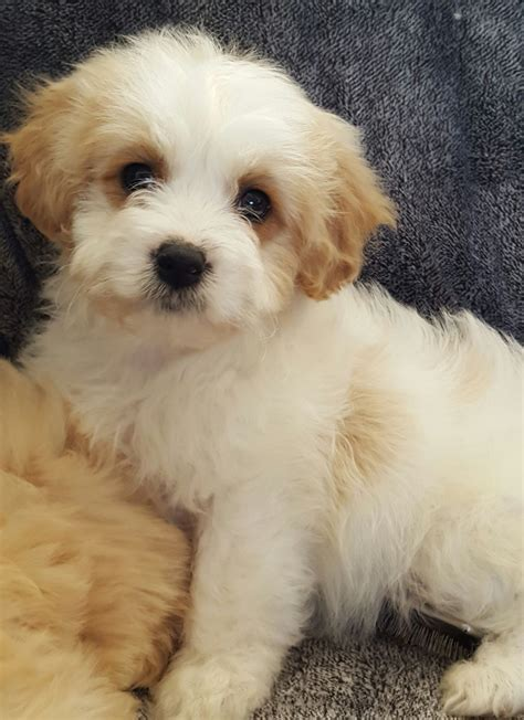 cavachon puppies for sale in beautiful f1 cavachon puppies for sale warrington cheshire pets4homes