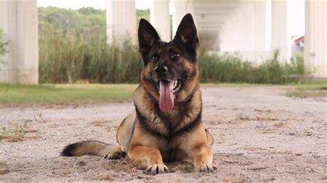 Pelatih Anjing melatih anjing german shepherd herder amk9