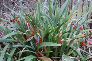 Edible Winter Flowers - iris foetidissima landscape architect s pages