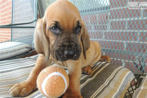 bloodhound puppies prices bloodhound puppy for sale near fort smith arkansas e9dff49f 2971