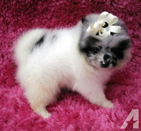 akc pomeranian puppies for sale in california akc pomeranain puppies for sale in murrieta california classified americanlisted