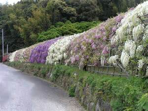 Wisteria Flower Tunnel by Gallery For Gt Wisteria Flower Tunnel Wallpaper