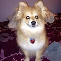 pomeranian puppies for adoption in pa view ad pomeranian for adoption pennsylvania lancaster usa