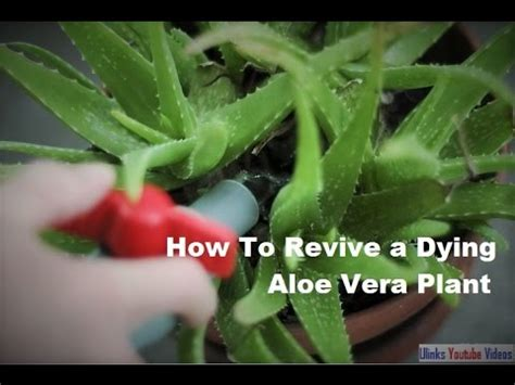 how to revive a dying plant how to revive a dying aloe vera plant youtube
