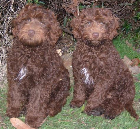 chocolate labradoodle puppies pictures of labradoodle puppies
