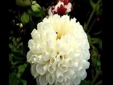 alibabki kwiat jednej nocy kwiat jednej nocy alibabki wmv