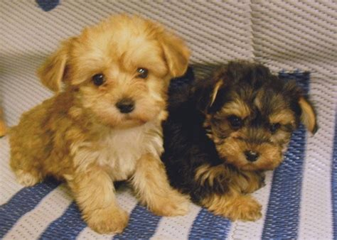yorkie poo rescue 1000 images about things i on billabong backpack cats and german husky