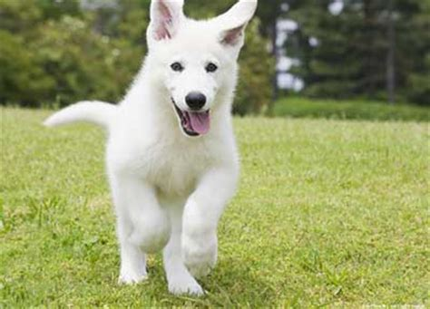 how does the white german shepherd differ from other