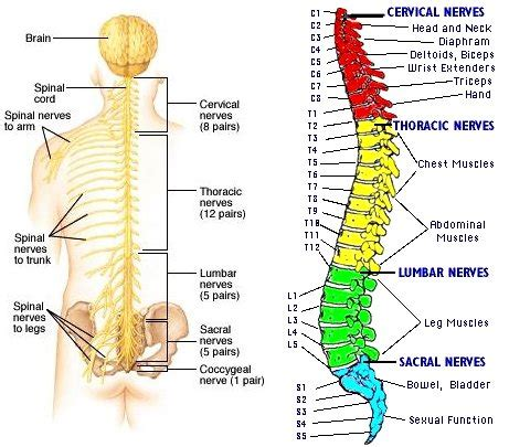 diagram of spine and nerves thoracic spinal nerve 3