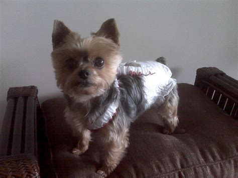 diapers for yorkies teacup dogs tons of health issues healthy paws pet insurance