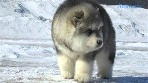 fluffy husky puppies he s so fluffy this adorable puppy is so fuzzy he looks like a big teddy