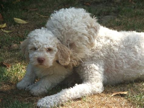 lagotto puppies lagotto and puppy lagotto mothers puppys and lagotto