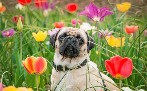 pug puppies hd wallpapers pug hd wallpapers best collection wallpaper puppies desktop litle pups
