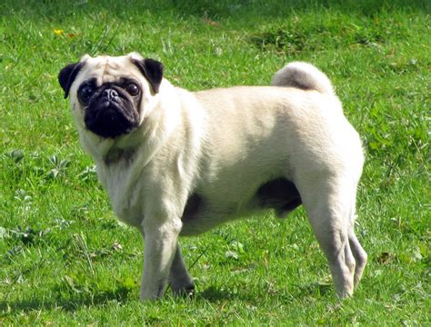pics of pug file fawn pug 2 5year jpg