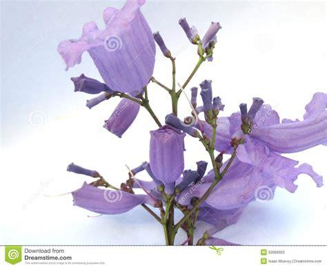 imagenes de flores jacaranda flor del jacaranda imagen de archivo imagen de 225 rbol