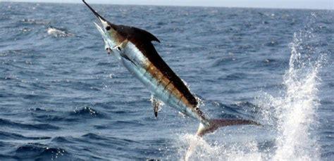 average lifespan of a average lifespan of blue marlin المرسال