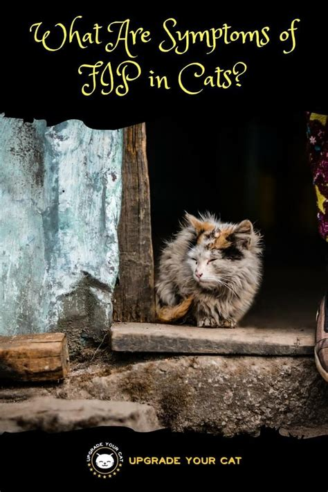 symptoms  fip  cats feline infectious