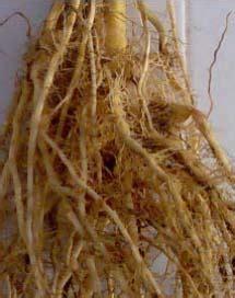 Hidroponik Jagung Pakan Ternak gambar budidaya jagung manis sentra pertanian tanaman