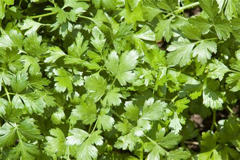 Herb Spice Rack What Is The Trick To Cilantro Bonnie Plants