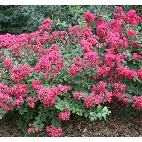 pink flower shrub shrubs trees bushes garden center