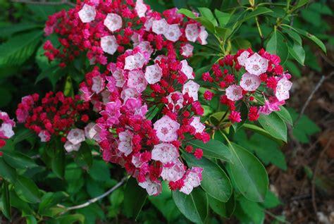 kalmia latifolia kalmia latifolia olympic fire plants direct victoria bc