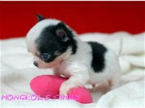 chihuahua puppies for sale ny chihuahua puppies for sale