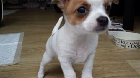 chi for dogs gorgeuous chi puppies for sale harrow middlesex pets4homes