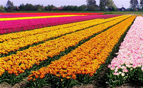 tulip fields travel trip journey tulip fields in netherlands