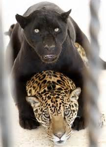 Are Jaguars And Panthers The Same 25 Best Ideas About Black Jaguar On