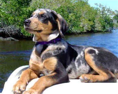 catahoula hound 118 best catahoula leopard images on catahoula cur doggies and animal