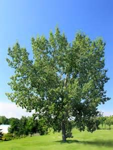 balsam poplar for sale treetime ca
