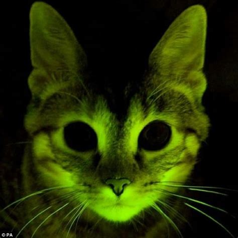 lights cat green glowing cats are new tool in aids research daily